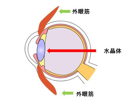 外眼筋と水晶体